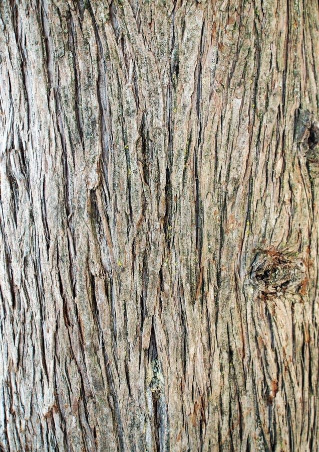 Oberflächenbeschaffenheit des Stammes der Zypresse lizenzfreie stockbilder