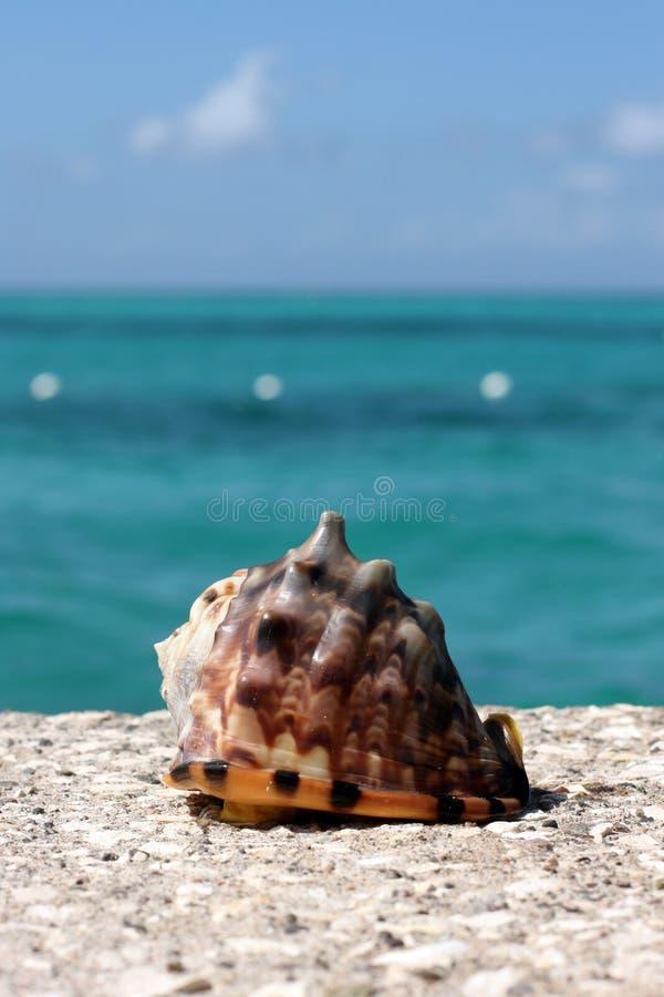 Oberteil Cassis Tuberose karibisches See stockbilder
