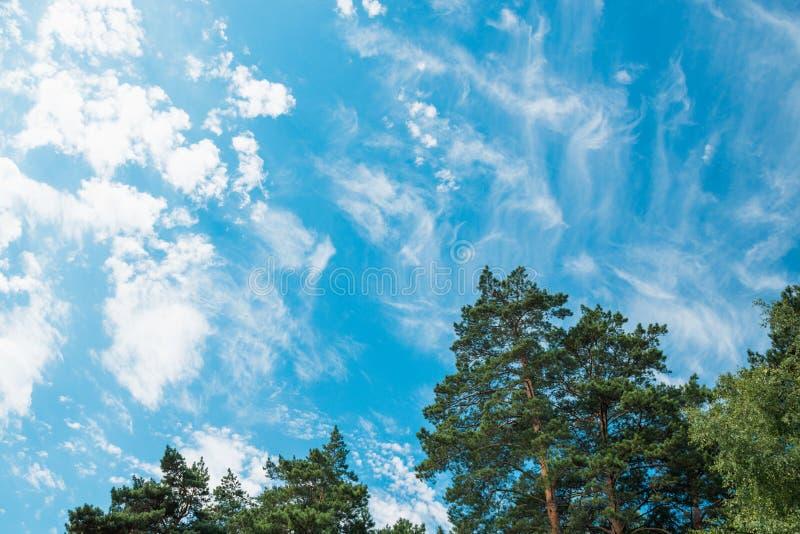 Oberteile Kiefern und Birken gegen einen blauen Himmel mit Wolken Daylig stockfoto