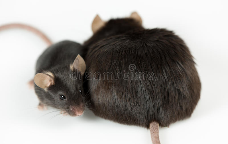 Obese and healty lean mice stock image