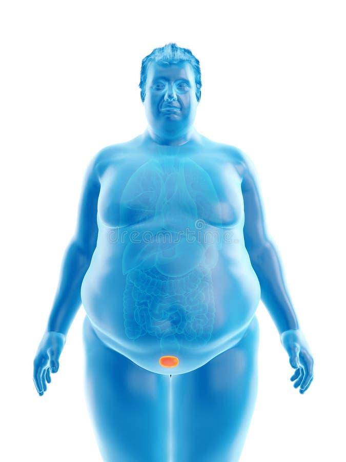 An obese mans bladder. 3d rendered medically accurate illustration of an obese mans bladder vector illustration