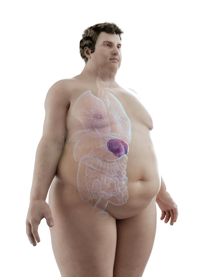 An obese mans spleen. 3d rendered medically accurate illustration of an obese mans spleen royalty free illustration