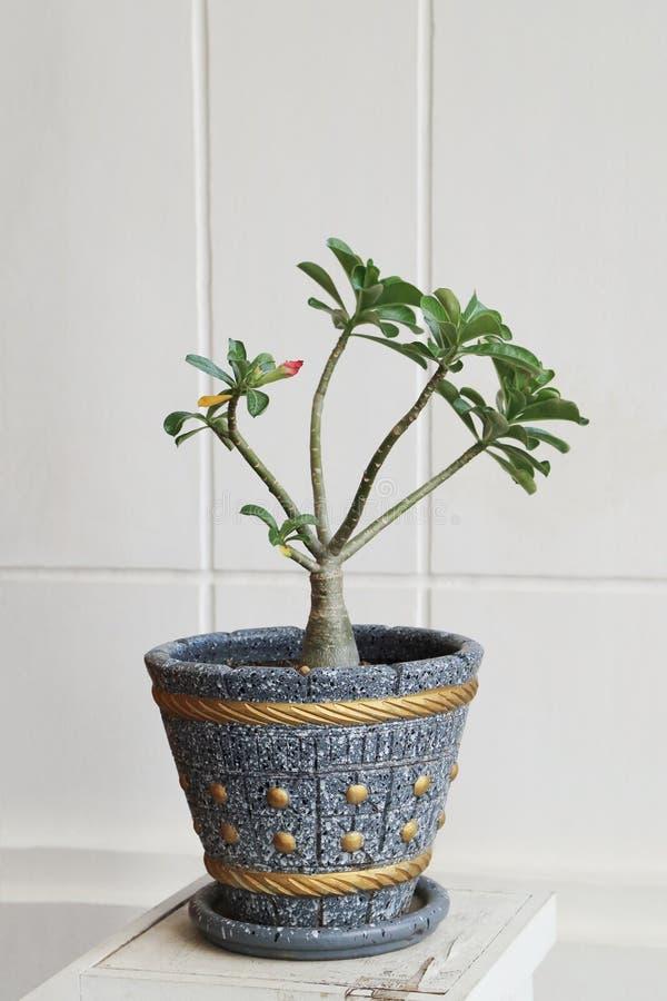 Obesum Adenium, пустыня подняло, лилия импалы или цветок бигнонии Пинга стоковые фотографии rf