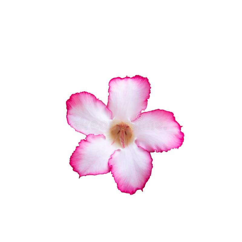 Obesum del Adenium, desierto Rose, lirio de impala, azalea falsa aislada en el fondo blanco fotos de archivo