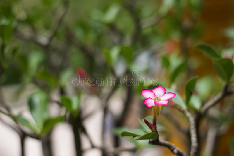 Obesum del Adenium (desierto Rose; Lirio de impala; Azalea falsa) en jardín imagen de archivo