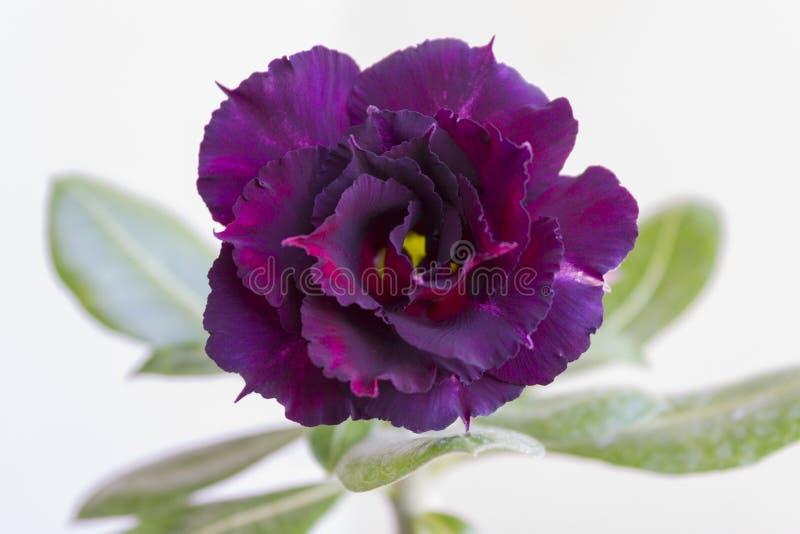 Obesumbloei van bloemadenium royalty-vrije stock afbeelding