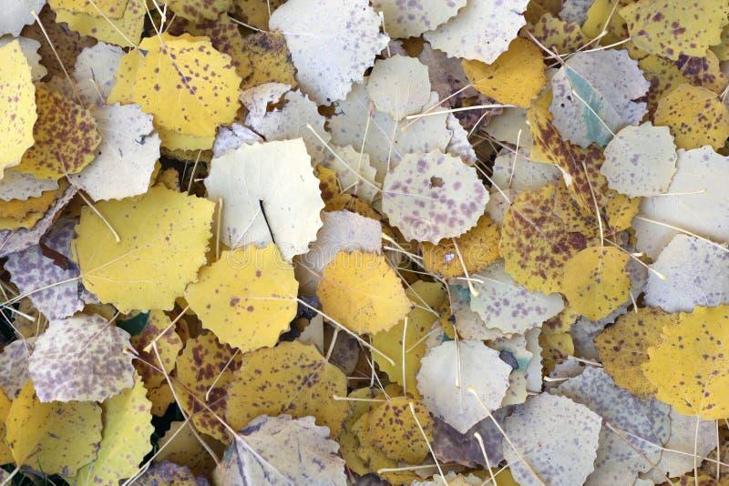 Obfitość Złoci Żółci osika liście na ziemi podczas sezonu jesiennego w Finlandia fotografia royalty free