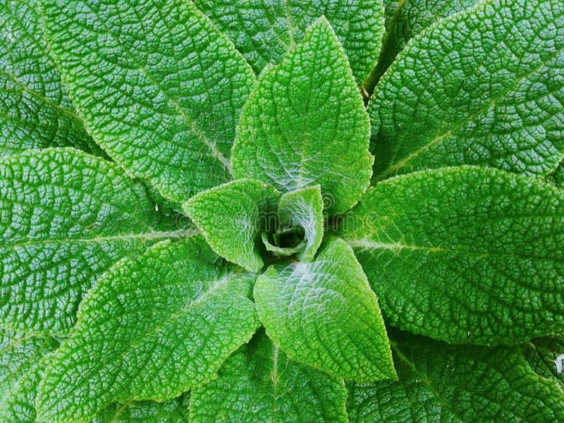 obfitolistna roślinnych zdjęcia stock