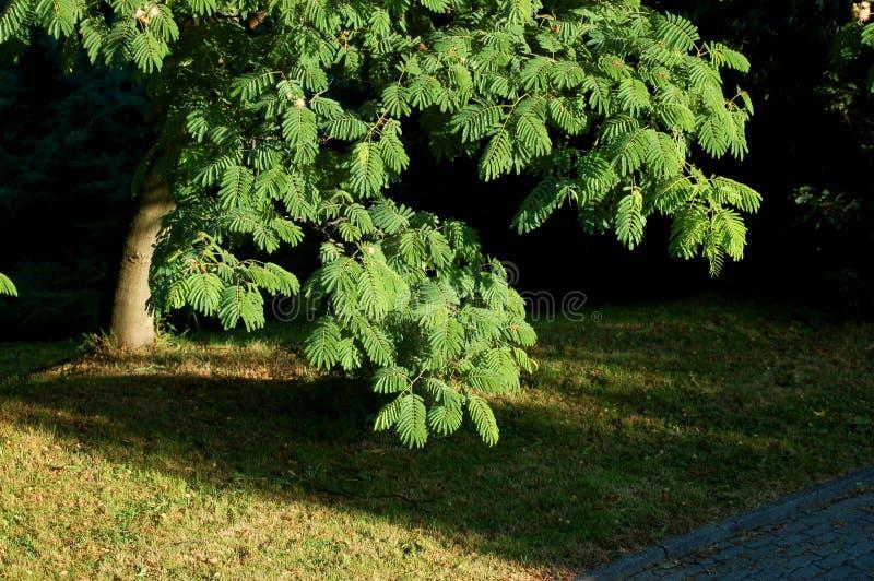 obfitolistny drzewo obraz stock