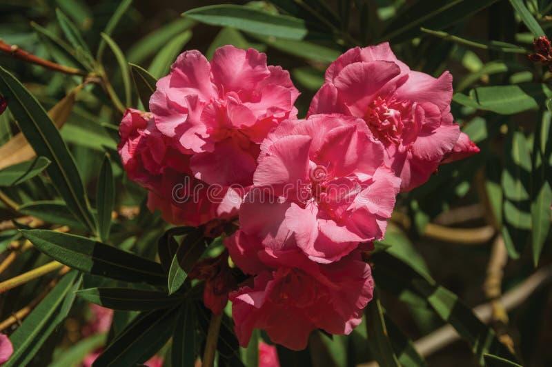 Obfitolistny krzak zakrywający kolorowymi kwiatami zdjęcia stock