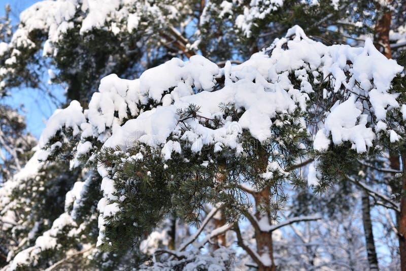 objętych pine śnieg drzewo zdjęcia royalty free