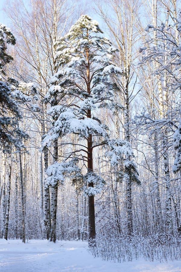 objętych pine śnieg drzewo zdjęcie royalty free
