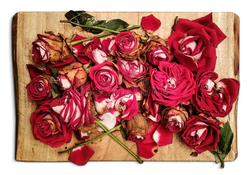 Pile of withered red roses is placed on a wooden board - an artistic decadence look. Object isolated on a white background. An artistic decadence look stock photography