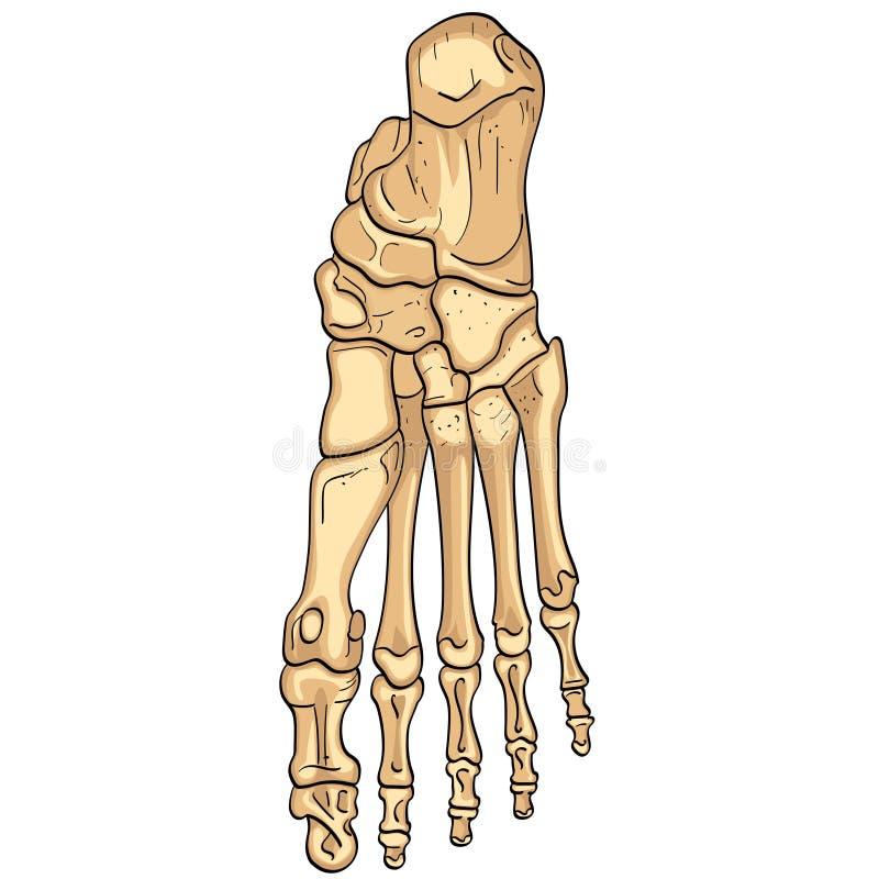 Object isolerade på vitbakgrund Ben av foten med märkta huvudsakliga delar Från över, sido- och mediala sikter royaltyfri illustrationer