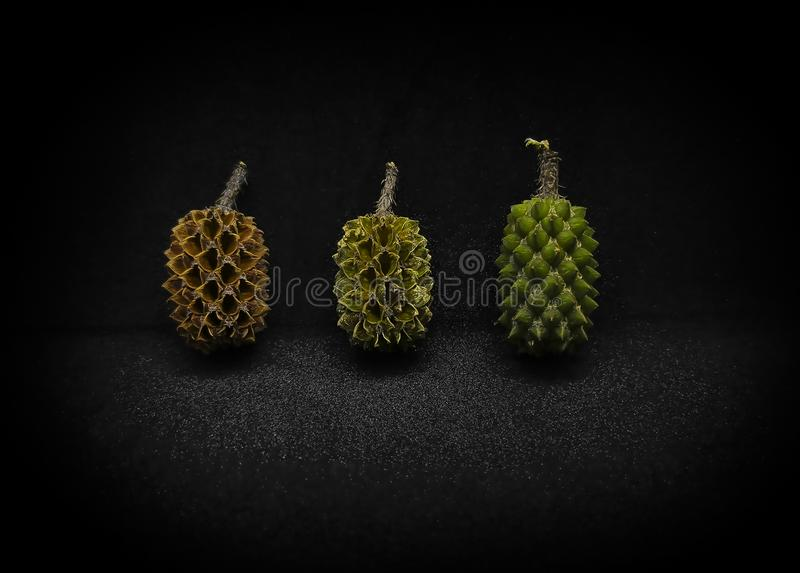 Objects. Pine Rhu tree fruit begins with lush, mid and dry at the dark background royalty free stock images