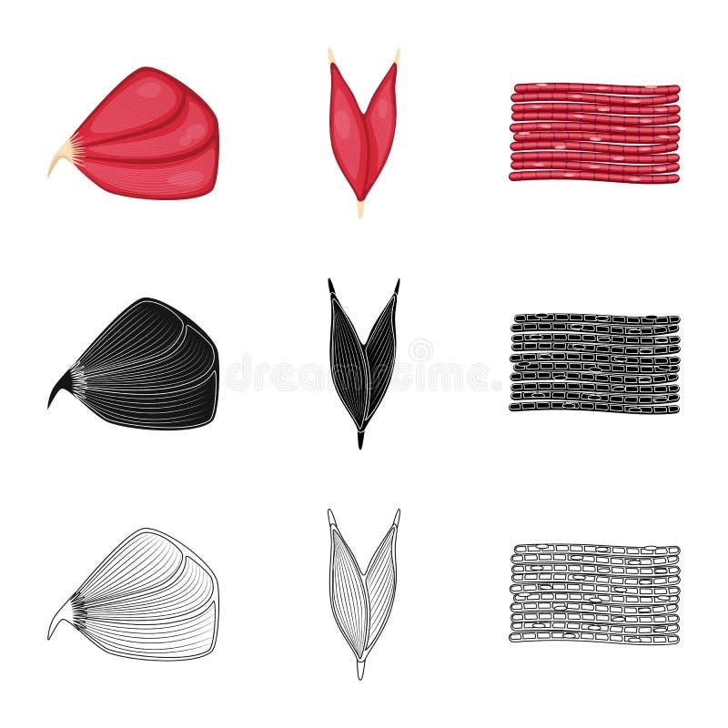 Objet d'isolement de fibre et d'ic?ne musculaire Placez du symbole boursier de fibre et de corps pour le Web illustration de vecteur