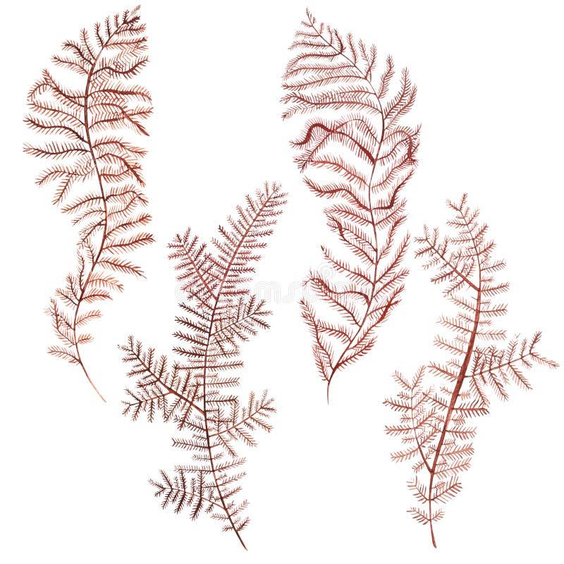 Objet de vie marine d'algue d'isolement sur le fond blanc Illustration peinte tirée par la main d'aquarelle Aquarelle sous-marine photographie stock