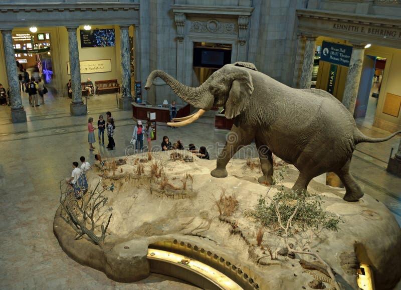 Objet exposé d'éléphant africain de musée de Smithsonien photographie stock
