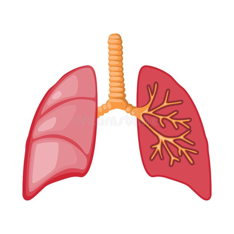 Objeto aislado del icono de la anatomía y del órgano Fije de la anatomía y del icono médico del vector para la acción ilustración del vector