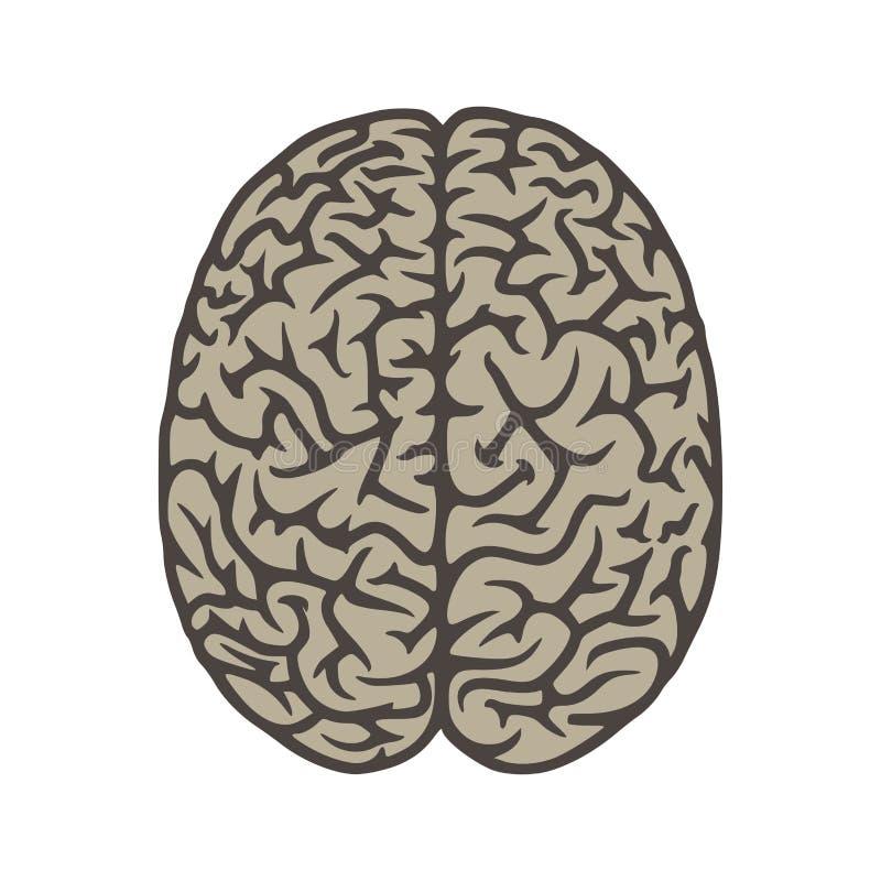 Objeto del ejemplo de la opinión superior del cerebro foto de archivo