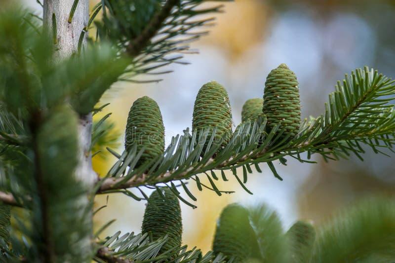 Objeto del pino Cones imagen de archivo libre de regalías