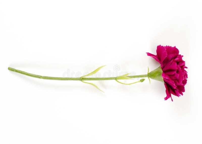 Objetos plásticos popy da flor do rosa isolados nos fundos brancos fotografia de stock royalty free