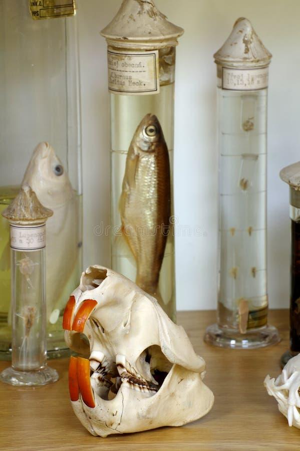 Objets exposés de zoologie de crâne de castor images stock