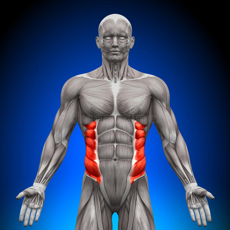 Oblique externe - muscles d'anatomie illustration libre de droits