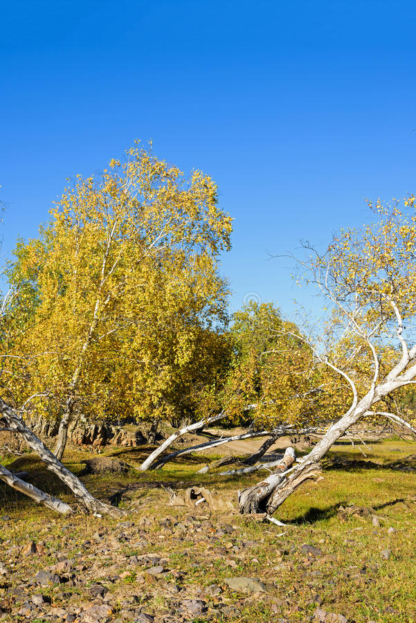 oblique White Birch in the autumn royalty free stock photo