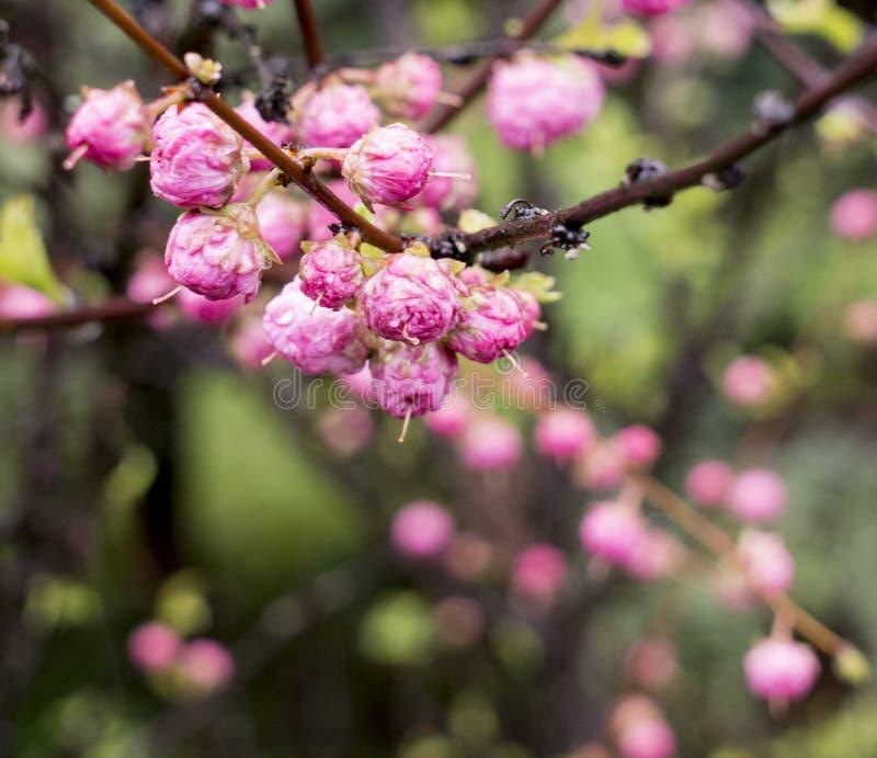 Obniżania Prunus triloba drzewo z trzy ostrzami po deszczu obraz royalty free