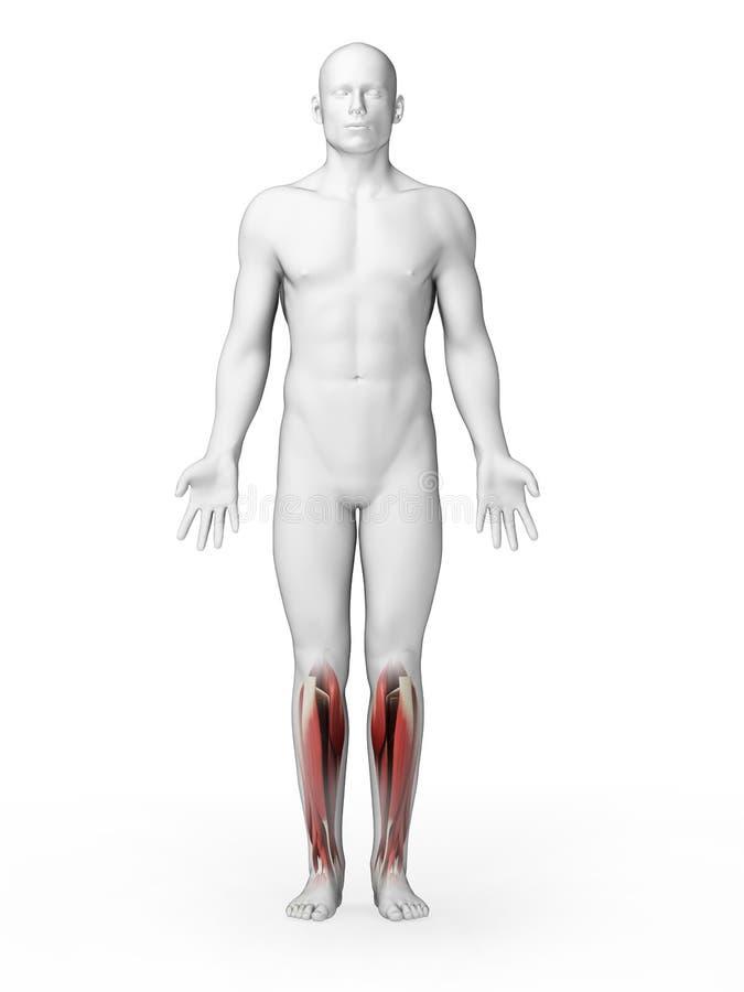 Obniża noga mięśnie ilustracji