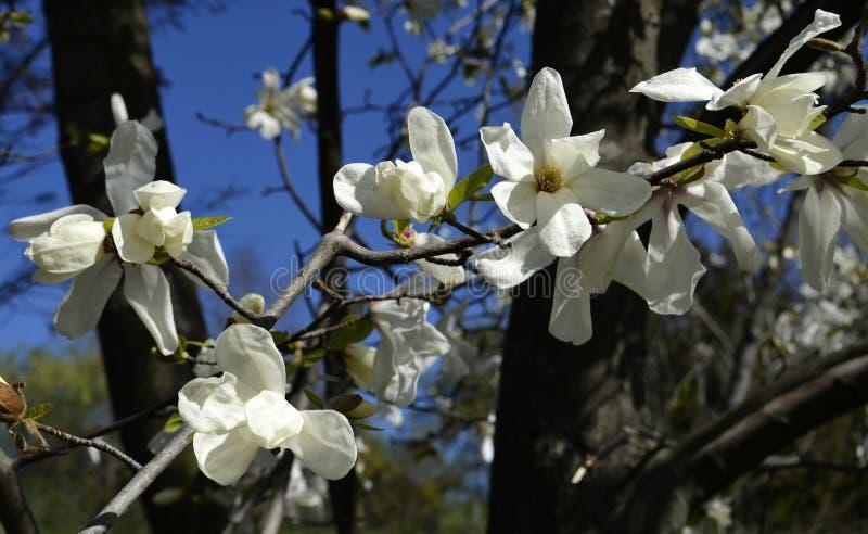 Obovata магнолии цветет в саде Gryshko национальном ботаническом в Kyiv, Украине стоковое изображение rf