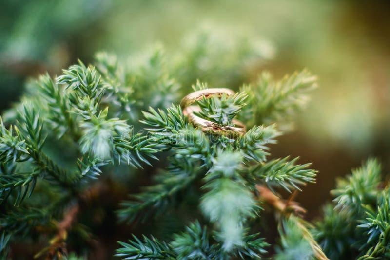 Obrączki ślubne kłamają na gałąź świerczyna, na jedlinie na drzewie na choince, obrazy royalty free