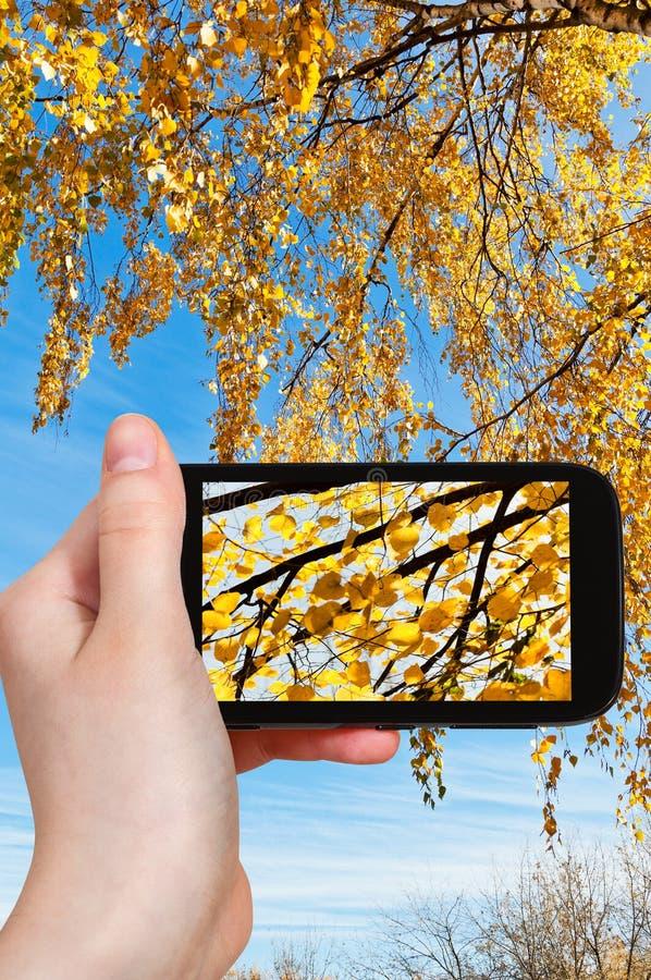 Obrazek kolor żółty opuszcza na brzozie w jesieni zdjęcie stock