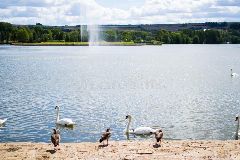 Obrazek krajobraz w parku z basenem, fontann? przy t?em i grup?, kaczki i g?ski przy przedpolem obraz stock