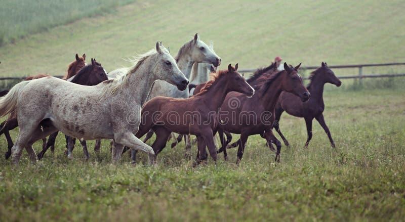 Obrazek stado dzicy konie na łące zdjęcia royalty free