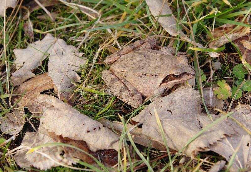 Obrotna żaba w jesień liściach (Rana dalmatina, Bonaparte) fotografia royalty free