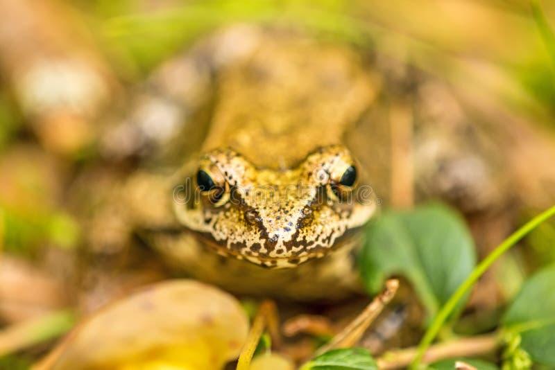 Obrotna żaba, zbliżenie fotografia royalty free