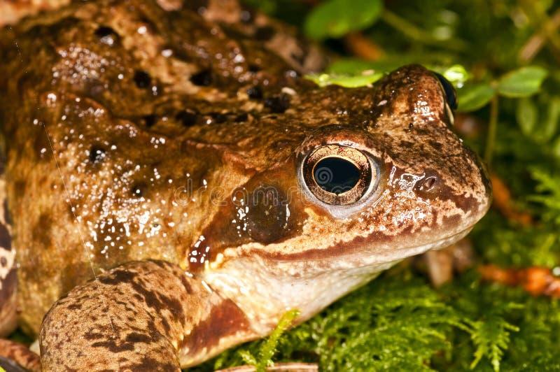 obrotny dalmatina żaby rana fotografia stock