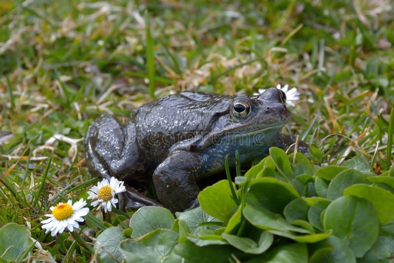 obrotny dalmatina żaby rana zdjęcie royalty free