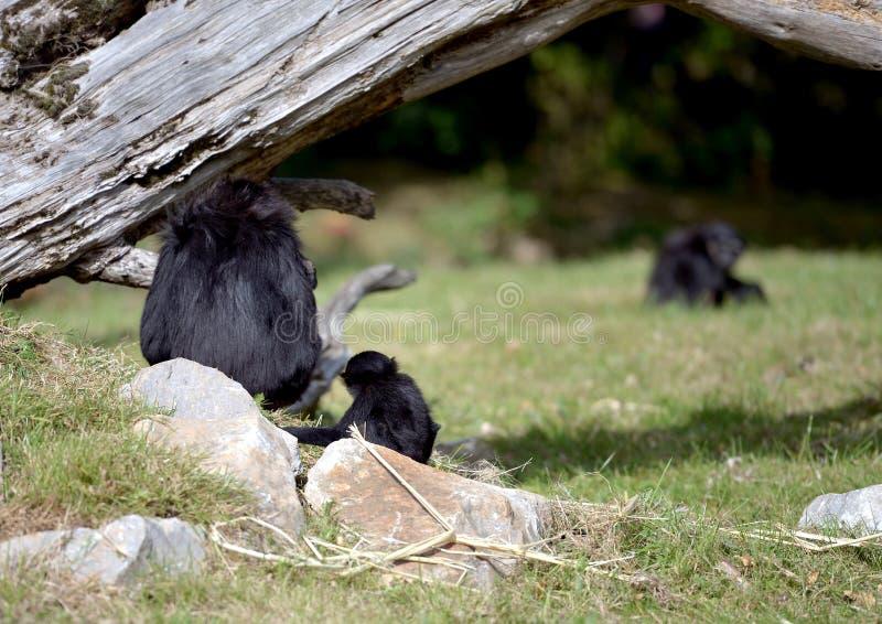 Obrotny Gibbon i jej dziecko zdjęcia royalty free