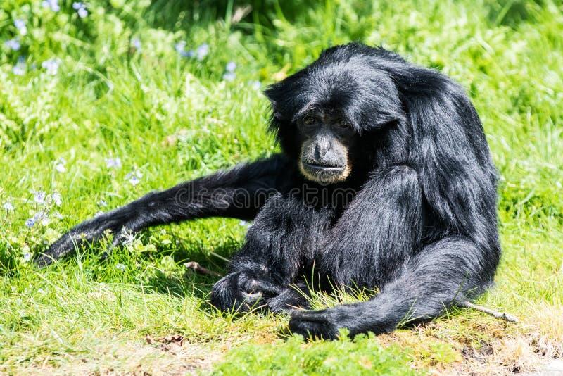Obrotny Gibbon, jeden małe małpy swój rodzaj i jeden arywiści w lesie, szybcy i akrobatyczni zdjęcie royalty free