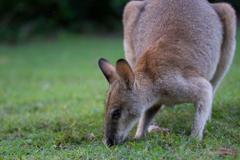 obrotny wallaby fotografia royalty free