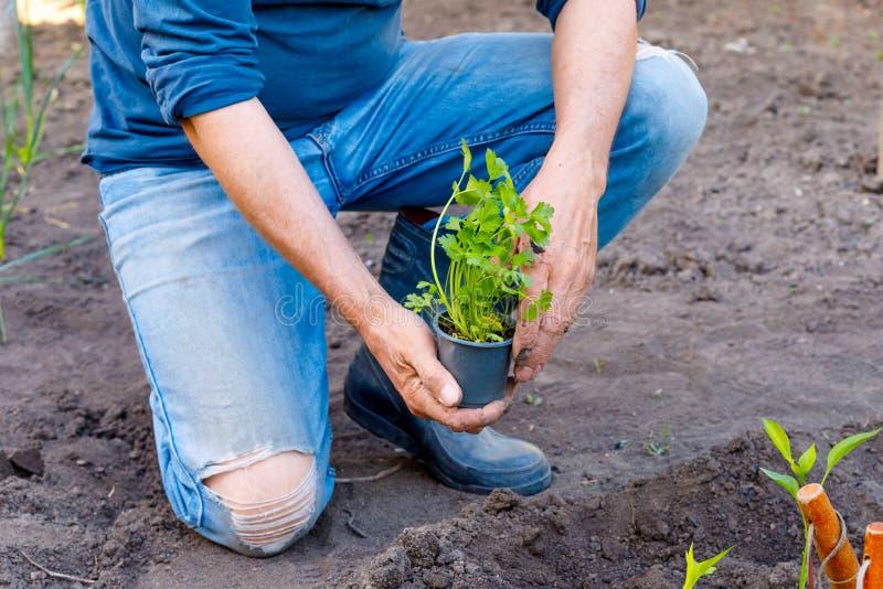 Obsługuje średniorolne flancowanie pietruszki rozsady w ogródzie outdoors obraz stock