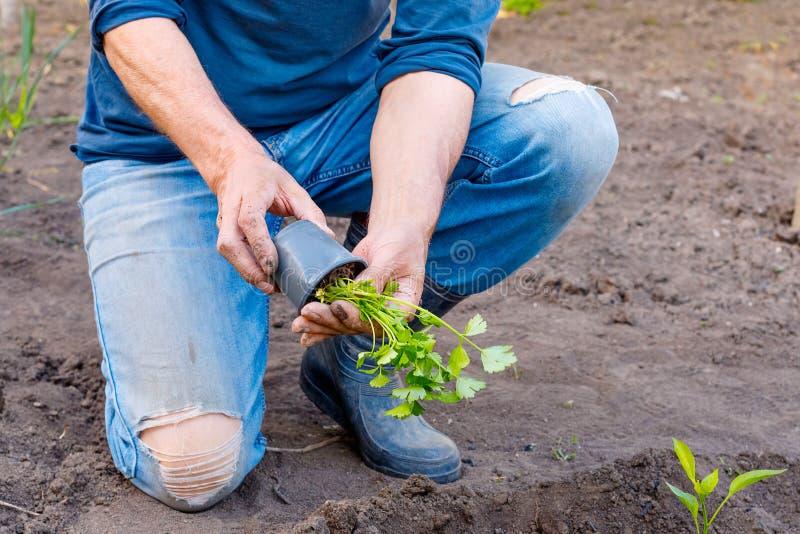 Obsługuje średniorolne flancowanie pietruszki rozsady w ogródzie outdoors fotografia royalty free