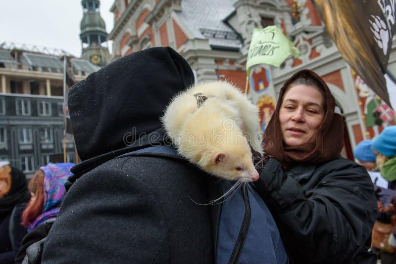 Obsługuje L dba fretki Mustela putorius furo na jego ramieniu, podczas «Marzec dla zwierząt w Ryskim, Latvia obraz stock