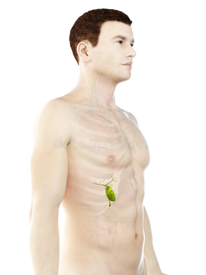 A obs?uguje gallbladder ilustracja wektor