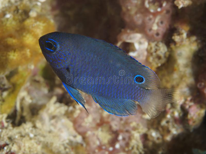 Obscure damsel. In Bohol sea Philippines royalty free stock image