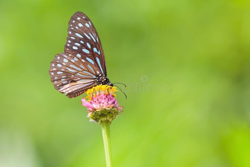Obscuridade bonita - Tiger Butterfly azul (septentrionis de Tirumala) fotografia de stock royalty free