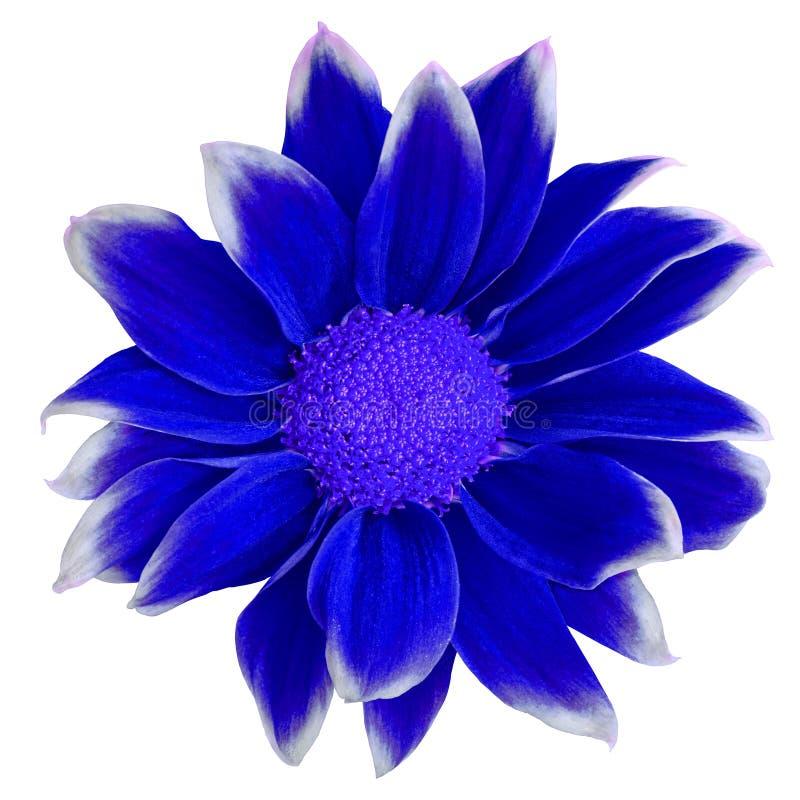 Obscuridade da flor - crisântemo branco azul isolado no fundo branco Close-up Elemento do projeto foto de stock royalty free